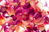 Rose Petals On Lighttable