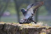 Mating Pigeons poster