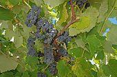 Blue grapes on the vine