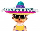 stock photo of mexican-dog  - cute puppy dog wearing a mexican hat on a white background - JPG