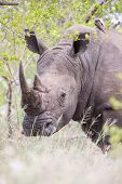 Portrait Of An Old Rhino Hiding For Poachers In Dense Bush