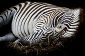 Zebra/african Zebra Sleeping On Field.