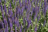 foto of clary  - The photograph of a garden flower bed with woodland sage - JPG