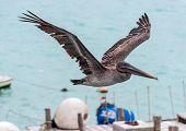 Pelican Flying Over The Bay Of Santa Cruz Island, Galapagos, Ecuador