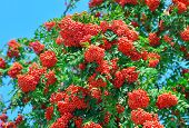 pic of mountain-ash  - Bunches of a ripe mountain ash among green foliage against the blue sky - JPG