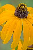Rudbeckia hirta close-up