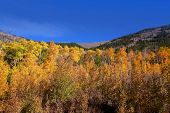 Bright Aspen fall foliage in Colorado