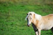 Haflinger, Horse