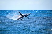 stock photo of hump  - A hump back whale breaching in the Atlantic Ocean - JPG