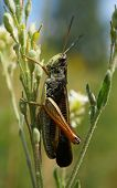 stock photo of locusts  - A locust is sitting on a stem - JPG