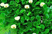 Blooming water hyacinth