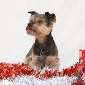 Christmas Yorkshire Terrier