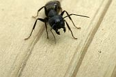 Attacking Carpenter Ant