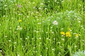 stock photo of lawn grass  - Lawn with wild flowers in the green grass in the spring sunny day - JPG