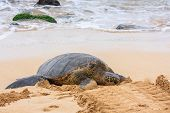 stock photo of green turtle  - A Green Sea Turtle that has come ashore on the Island of Oahu - JPG
