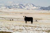 Black Baldy Cows
