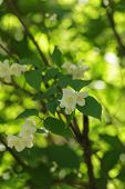 Jasmine flowers blossoming on bush in sunny day
