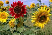 Field  Flower  Sunflower