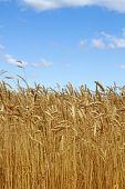 Field  Wheat  Ears