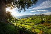 Tea plantation in the valley in the area of town of Nuwara Ellia, Sri Lanka