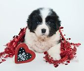 foto of newfoundland puppy  - Sweet Newfoundland puppy laying on a white background with a heart shaped sign that says be mine - JPG