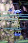 Mangrove Water With Lotus Flowers