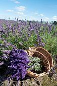 foto of lavender field  - Picking Lavender in the fields and collect them in a cane basket - JPG