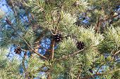 pic of cone  - the pine cone hanging on a pine tree in winter - JPG