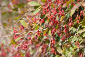 foto of barberry  - Barberry bush branch in the forest closeup - JPG