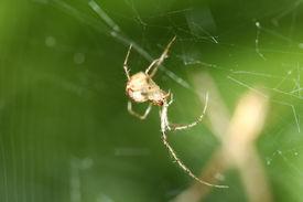 picture of lightning bugs  - Cob Web Spider Parasteatoda lunata in web in morning lightn morning light  - JPG