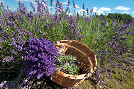 pic of lavender field  - Picking Lavender in the fields and collect them in a cane basket - JPG