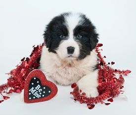 pic of newfoundland puppy  - Sweet Newfoundland puppy laying on a white background with a heart shaped sign that says be mine - JPG