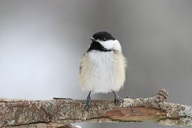 picture of chickadee  - A fluffy little black-capped chickadee (Poecile atricapillus) on a cold day in winter. ** Note: Visible grain at 100%, best at smaller sizes - JPG