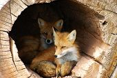image of hollow log  - Alert twin foxes waiting in a hollow log - JPG