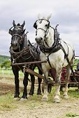 pic of blinders  - Vertical image of a black and a white work horse yoked together and  hitched up to a cultivator - JPG