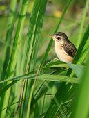 Young Bird On Lemongrass