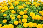 stock photo of marigold  - Beautiful marigold yellow in the garden background - JPG