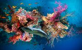 picture of fire coral  - Tropical Anthias fish with net fire corals and shark on Red Sea reef underwater - JPG