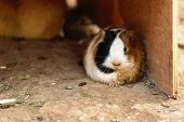 stock photo of guinea  - Guinea pig or hamster on the ground near wood wall box - JPG