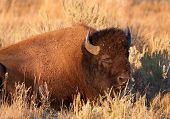 stock photo of lamar  - American Bison bull rests lying in sagebrush and grass - JPG