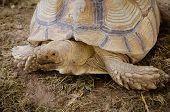 picture of tortoise  - Aldabra giant tortoise  - JPG