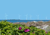 image of wind-rose  - Wind power turbines with wild roses clear blue sky and ocean - JPG
