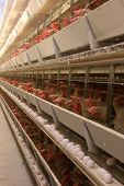 foto of animal cruelty  - building of a modern chicken farm - JPG