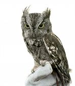 stock photo of screech-owl  - Eastern Screech Owl are found wherever trees are and they - JPG