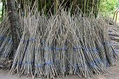 picture of cassava  - Preparation Of Cassava tree Sprout for plantation - JPG