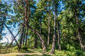 picture of dash  - A tree that grows sideways in a curve at Dash Point State Park in Washington State - JPG