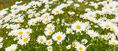 picture of oxen  - Yellow hearted white flowering ox eye daisy or Leucanthemum vulgare plants in field edge from close on a windy day in the spring season - JPG