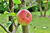 picture of apple tree  - The apple tree is a deciduous tree in the rose family best known for its sweet - JPG