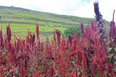 picture of staples  - Brilliant red amaranth stalks growing among ancient Inca ruins at Pumapungo in Cuenca Ecuador - JPG