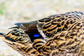 stock photo of male mallard  - Close up portait of a duck on grass and dirt - JPG